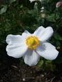 シュウメイギク咲きました