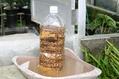 シャクナゲの挿し木準備2