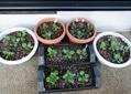 種蒔きっ子パンジ-の定植