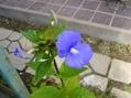 青花咲いてます。