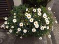 挿し木のマーガレット、プリムラが花盛り~[i:146]