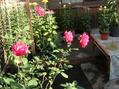今朝の薔薇