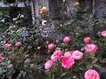バラの花数が増えました!