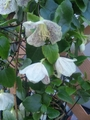 冬咲きクレマチスセミナー