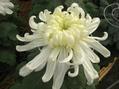 母の菊(その5)
