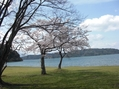 満開の桜(宮が浜と沖島)