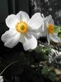 天高く~白シュウメイギク咲きました^^。