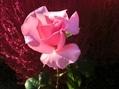 記念のバラ