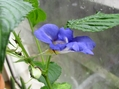 青いツリフネソウImpatiens namchabarwensis開花