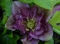 クリロ開花のその後、整いました◎