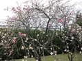 利久梅 京都府立植物園