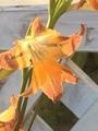 春咲きグラジオラス