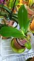憧れの胡蝶蘭。