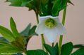 クリスマスローズの原種交配(H.スノーホワイト)