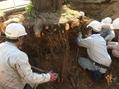 大きな桜の移植