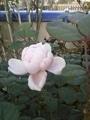 秋薔薇咲きました。