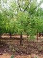 21世紀の木 ニーム-1  ニームは植物の中で、人類への最も有益な恵みの一つ。