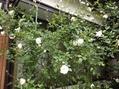 菊とつるアイスバーグが咲き始めています!