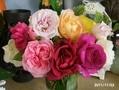 私のバラ4と山茶花