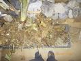 2011年産我が家のサトイモ収穫