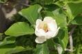 ゴールデンウィークの白い花木