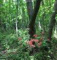 🌼森の中のエビネさん〜💕