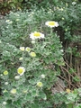 アシズリノジギクの咲き始め
