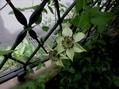 ドカ灰の中 テッセンが咲いた。