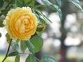 グラハムトーマスが綺麗に咲いてました。