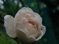 クリロもバラも咲いてますハ~レム♪
