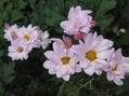 菊が咲きました 2