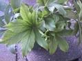 大きい苗の新芽