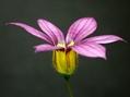 ニワゼキショウの花