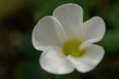 オギザリスの花