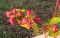 北国で育てた赤い花の咲く蕎麦「高嶺ルビー」・・・続編
