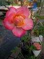 又咲いた薔薇