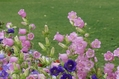 紫ピンク白
