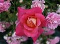 ようやく咲けた薔薇
