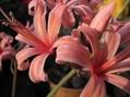 遅咲きネリネ