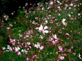 雪柳開花中