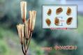 結果発表&高砂百合の種子