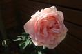 バラのローズマリー