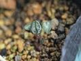 原種シクラメンの成長