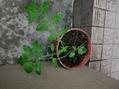 トマトの脇芽の挿し木