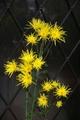 我が家の菊