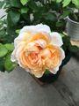 マリエ姫は、2番花も美し〜い!