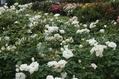 梅雨のバラ