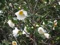 肥後山茶花です