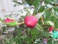 Pink roses(オードリー、Fレディ、Rポンパドール)