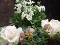 ロサ・ヌートカーナの発芽・一文字菊の岸の巴里・昔の文学少女の寄せ植え